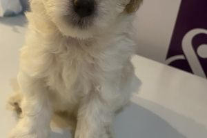 Jackapoo for Rehoming