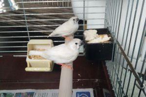 Finch For Sale in Lodon