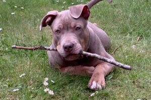American Bully for Rehoming