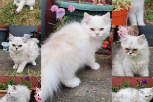 Persian For Sale in Lodon