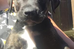 Cane Corso Dogs Breed