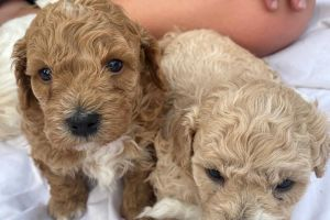 Poochon Dogs Breed