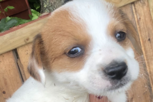 Available Jack Russells
