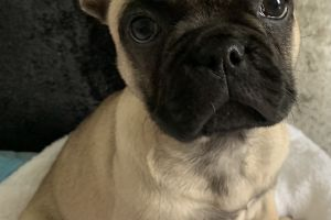 Available French Bulldogs