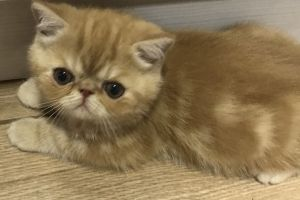 Exotic Shorthair For Sale in Great Britain