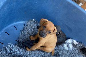 Patterdale Terrier Dogs Breed