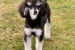 Toy Poodles for Rehoming