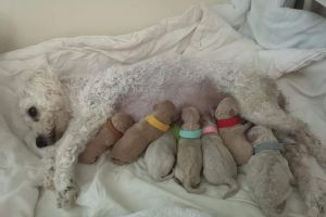 Poochon for Rehoming