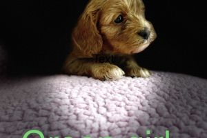 Cavapoo for Rehoming