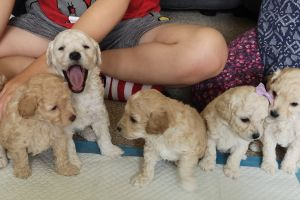 Poochons for Rehoming