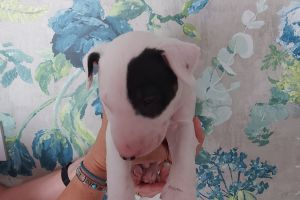 English Bull Terriers for Rehoming