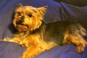 Yorkshire Terrier Online Listings