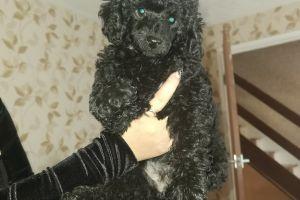 Cute Miniature Poodle For Sale