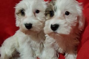 Sealyham Terrier Dogs Breed