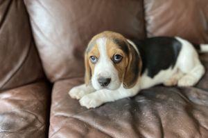 Beagle Online Ad