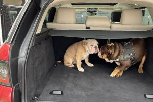 English Bulldog Dogs Breed