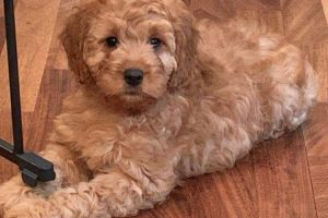 Cockapoo For Sale in the UK
