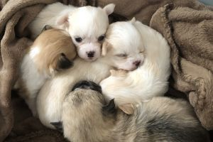 Pomchi for Rehoming