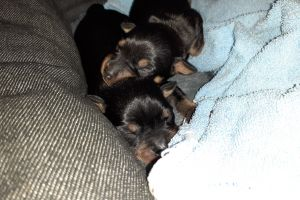 Miniature Pinscher For Sale in Lodon
