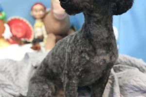 Toy Poodle for Rehoming
