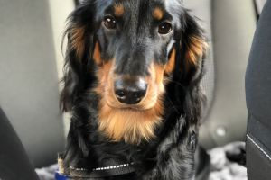 Dachshund For Stud in the UK