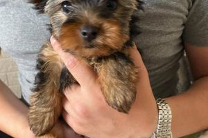 Yorkshire Terrier For Sale in the UK