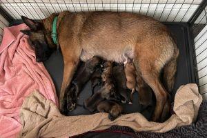 Belgian Malinois Dogs Breed