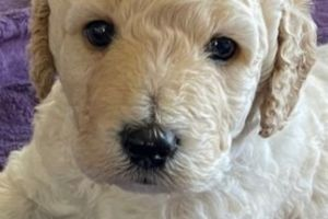 Cute Goldendoodle For Sale