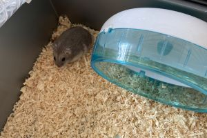 Hamster Dogs Breed