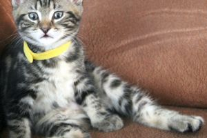 Maine Coon Online Listings