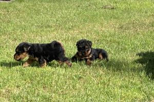 Welsh Terriers For Sale