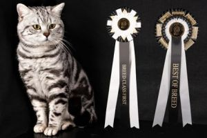 British Shorthair Advertisement UK Pets