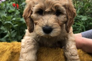 Goldendoodle For Sale in the UK