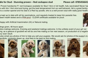 Cockapoo For Stud in Lodon