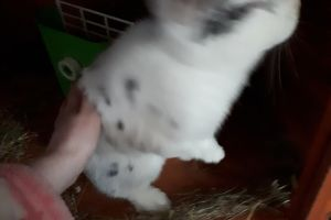 English Lop For Sale in the UK