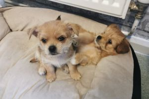 Chorkie For Sale in Great Britain