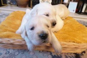 Golden Retriever Dogs Breed