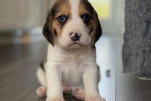 Beagle Dogs Breed