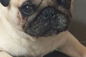 Pug For Stud in Great Britain