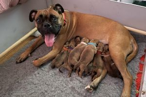 Boxer For Sale in the UK