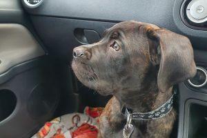 Neapolitan Mastiff For Sale in Lodon