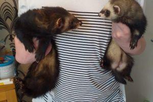 Ferret For Sale in Lodon