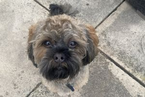 Shih-poo For Stud in Great Britain