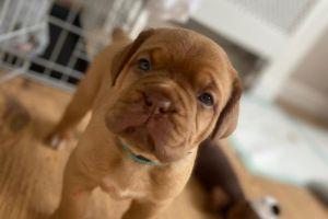 Dogue De Bordeaux For Sale in the UK