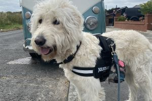 Goldendoodle For Stud in Lodon