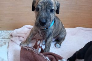 Lurcher For Sale in the UK