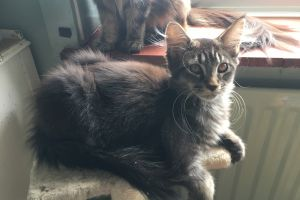 Cute Maine Coon For Sale