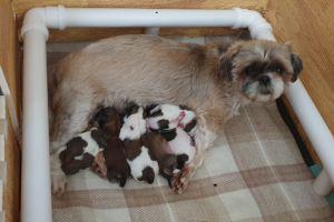 Shih Tzu Dogs Breed