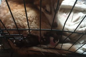Siberian Husky For Sale in Great Britain