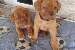 Dogue De Bordeauxs for Rehoming